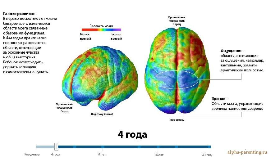 Мозг ребенка в 4 года