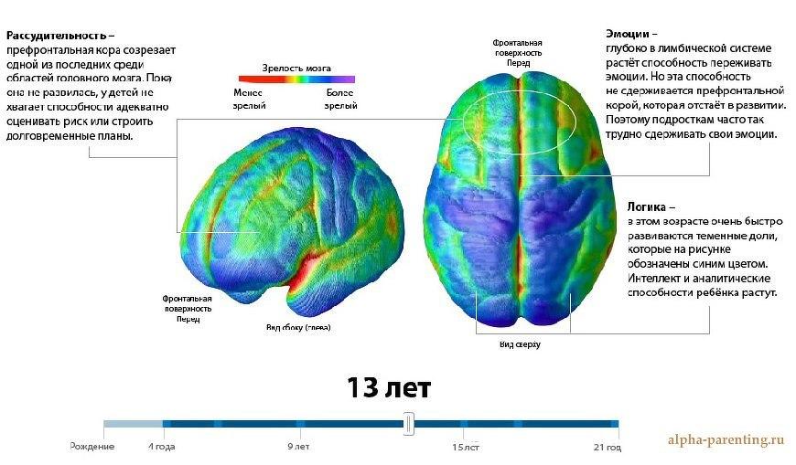 Мозг в 13 лет